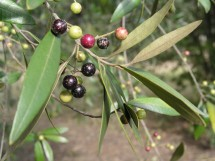 African Olive Fruit