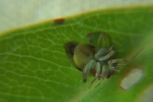 Researchers have discovered a strange mechanism whereby two species of traumatically inseminating plant bug are able to live together in Tahiti.