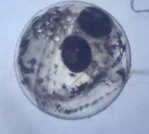 A four-day-old rainbowfish embryo. The eyes are very heavily pigmented and the tail is wrapped around the front of the head. The bubbles are oil droplets.