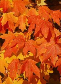 Deciduous sugar maple leaves, soon to senesce as winter approaches at the Gateway Arch, St. Louis, MO, USA. Photo by: Amy Zanne