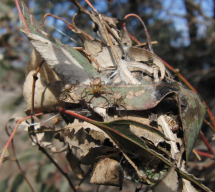 A natural Diaea ergandros nest, which can be inhabited by up to 80 spiders. Females build these nests from Eucalyptus leaves and female and spiderlings hunt and forage communally. Credit: Jasmin Ruch