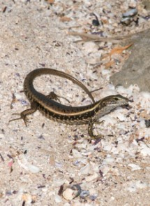 Eastern Water Skink in the wild, in New South Wales, Australia. © Martin Whiting.