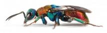 Gold Wasp (Hedychrum nobile), Copyright: Dr. Oliver Niehuis, ZFMK, Bonn