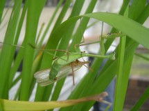 Despite the increased risk of being cannibalised without mating, male praying mantids are more attracted to starving females than to better-fed females.