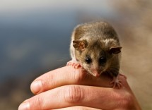 Victorian scientists have successfully bred two separate populations of the endangered Mountain Pygmy Possums in the wild, in a bid to boost the dwindling numbers at Mt Buller in Victoria. Picture: Tim Arch/DSE