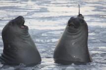 Elephant seals. Credit: Clive McMahon