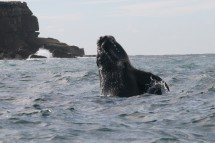 Southern right whale image by Rob Harcourt