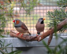 Zebra finch (left) and long-tailed finch (right). Photographer: Laura Hurley