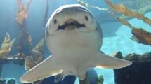 Port Jackson shark. Credit: Evan Byrne