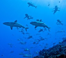 Grey reef sharks Credit: Guillaume Funfrock