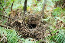 Lyrebird nest. Credit: Justin Welbergen