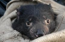 Photo Courtesy of the Save the Tasmanian Devil Program