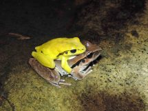Litoria wilcoxii (amplexus) Credit: Grant Webster