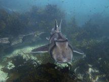 Port-Jackson sharks Heterodontus portusjacksoni cruising in Jervis Bay. Photo credit: Johann Mourier