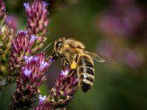 Image credit to Pixabay user Fotoworkshop4You. Link to image: https://pixabay.com/en/bee-flower-insect-blossom-bloom-2889349/