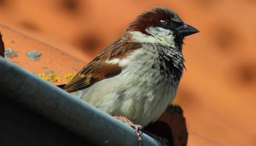 https://webresources.mq.edu.au/newsroom/wp-content/uploads/2018/09/house-sparrow.jpg