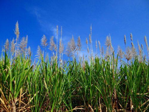 https://webresources.mq.edu.au/newsroom/wp-content/uploads/2018/09/sugarcane-253205_1920.jpg