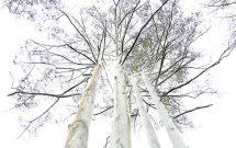 The flooded gum or rose gum (Eucalyptus grandis). Photo: Geoexplore