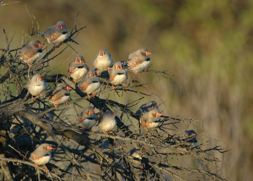 https://webresources.mq.edu.au/newsroom/wp-content/uploads/2019/02/Zebra-Finches.jpg