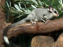 The squirrel glider (Petaurus norfolcensis) is listed as a vulnerable species in New South Wales. Photo: Wikimedia CC/Brisbane City Council