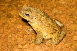Male cane toad