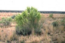 Saltbush plant. Image credit Wikipedia Commons