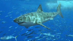 Image: A white shark (Carcharodon Carcharias). Credit: Wikimedia Commons