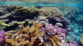 Coral responses to temperature depend on a range of local inputs. -  Wikimedia Commons