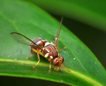 Queensland fruit fly. Image by Wikipedia Commons
