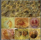 Brachiopod fossils showing parasites