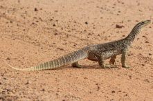 Yellow spotted monitor image courtesy of Arthur Chapman